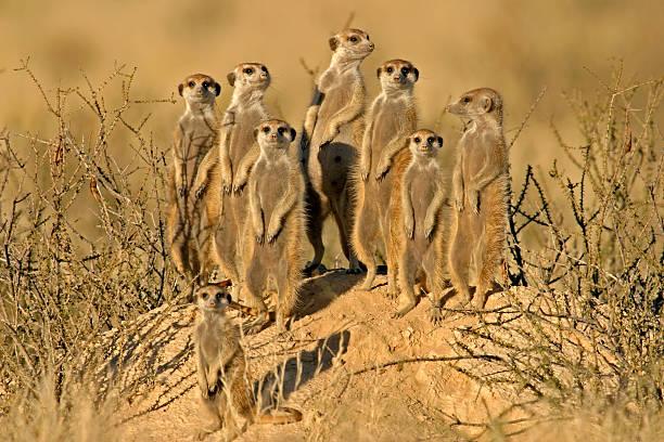 suricate (meerkat) family - meerkat stock photos and pictures