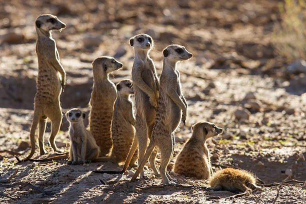 suricate family standing in the early morning sun looking - meerkat stock photos and pictures