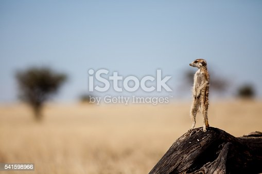A suricate stands on the branch of a tree in the Kgalagadi park in South Africa. It is vigilant for danger from predators, including birds of prey.