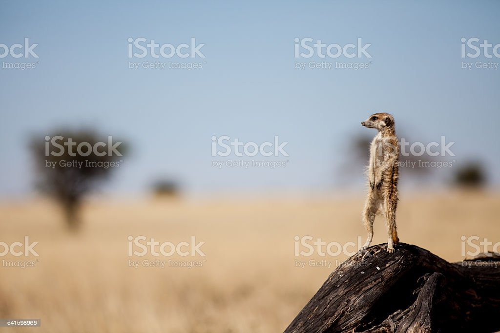 Suricate on the lookout for danger stock photo