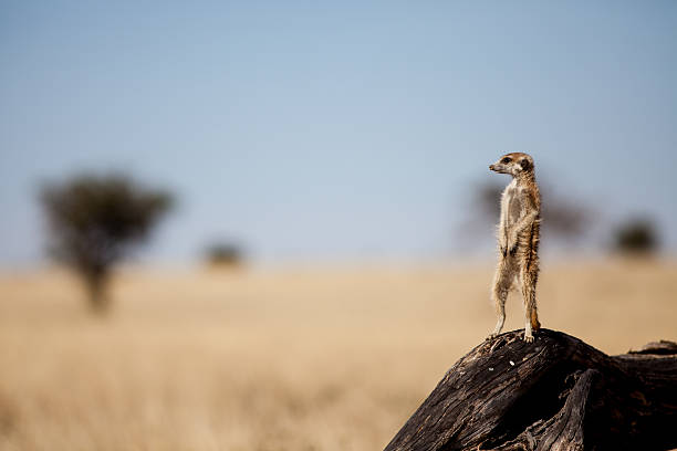 suricate on the lookout for danger - meerkat stock photos and pictures