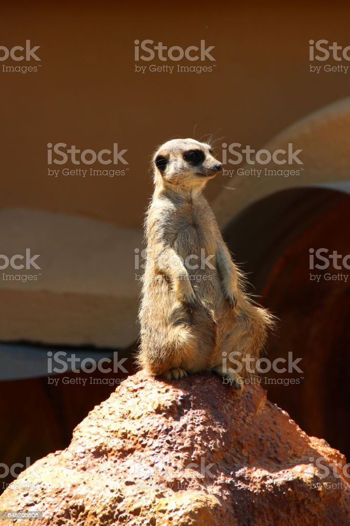 Suricate or meerkat. It is on guard and looks around and patrolling the neighborhood. stock photo