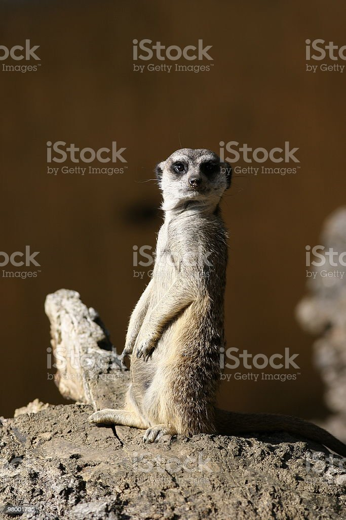 Suricate or Meerkat royalty-free stock photo