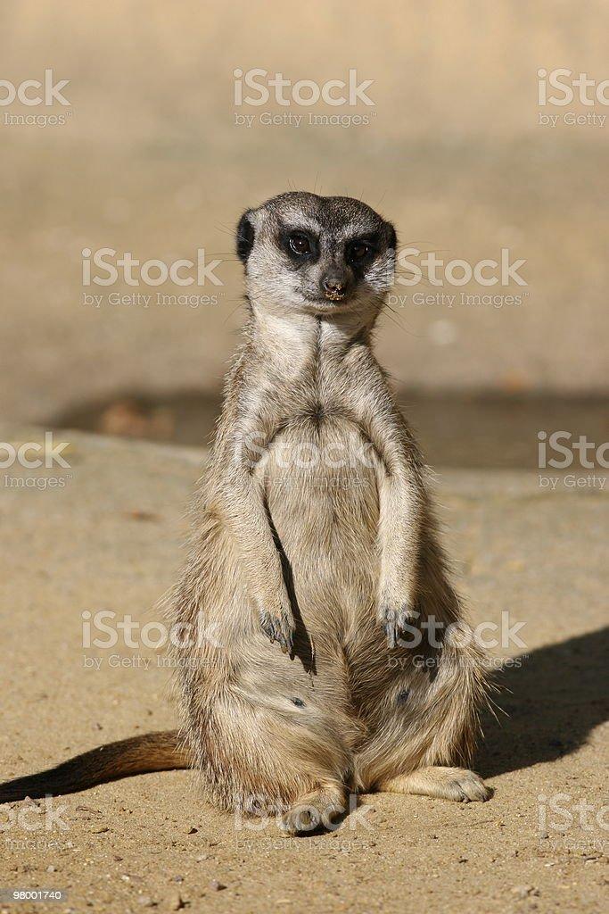 Suricate or Meerkat royalty-free stock photo