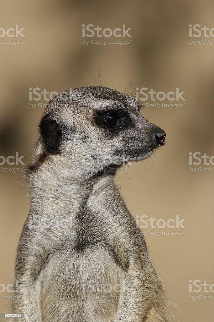 Suricate or meerkat royalty free stockfoto
