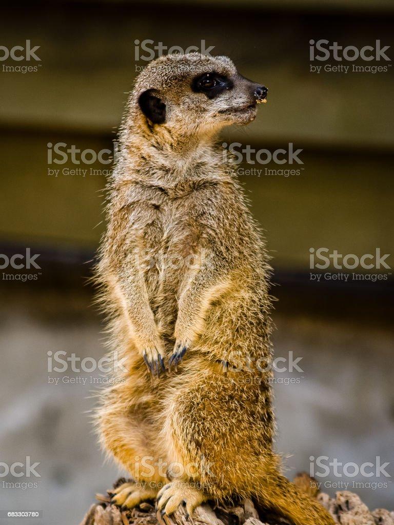 A suricate Suricata suricatta standing on a log foto stock royalty-free