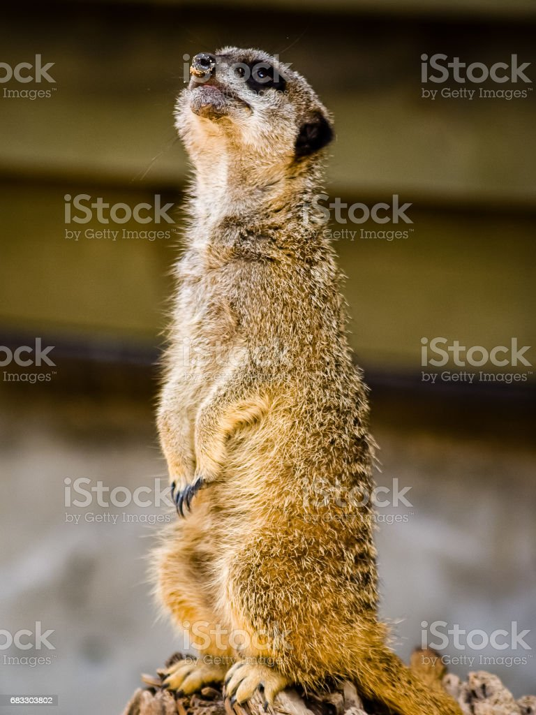 Un suricate Suricata suricatta se tenant debout sur un journal photo libre de droits