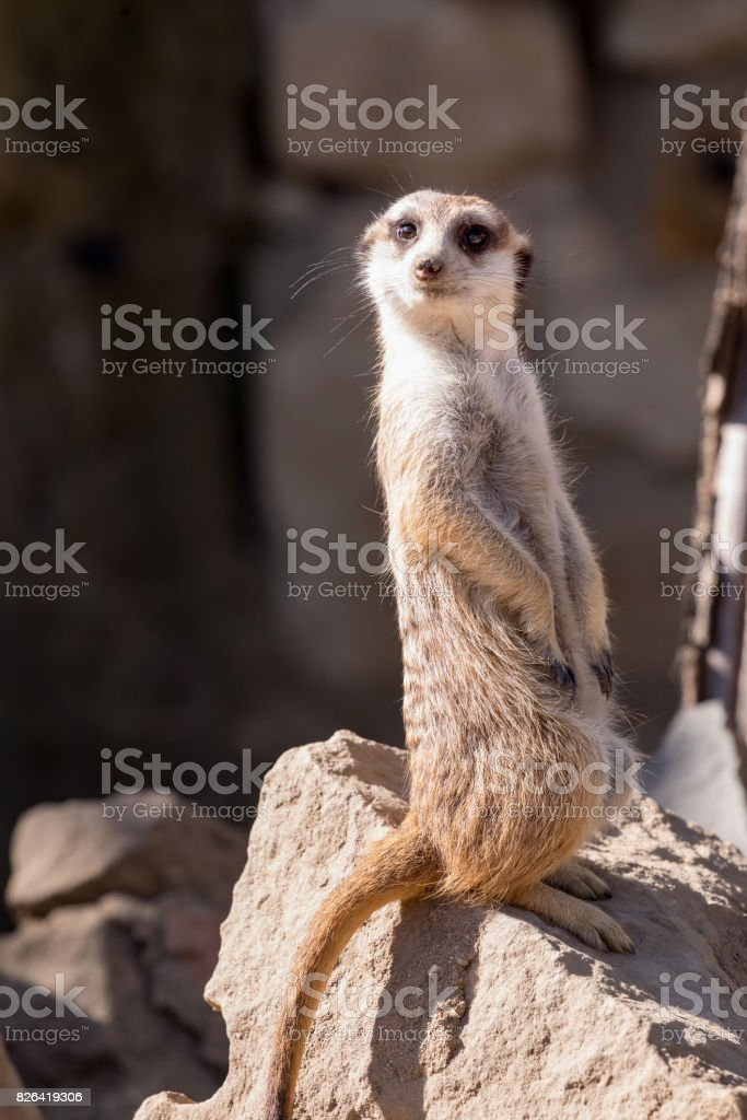 Surikata, Suricata suricatta. Small african mammal meerkat or suricate watching out for dange stock photo