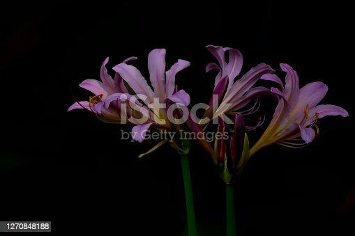 Purple surprise lily flowers closeup