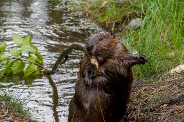 Surpris de castor au Denali - Photo