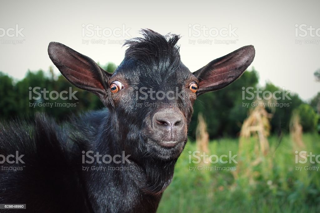 Surprised and Serious Black Goat. Pop-Eyed. stock photo
