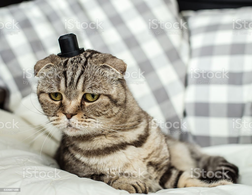 Surprised and very funny scottish fold cat with a hat stock photo