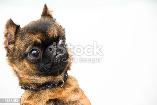 istock Surprised Brussels Griffin 491811534