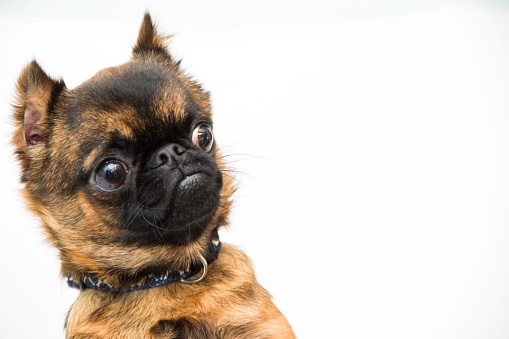 A Brussels Griffon with a clear look of surprise.