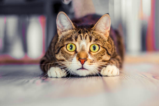 surprised cat charismatic surprised cat lies and stares ahead scared cat stock pictures, royalty-free photos & images