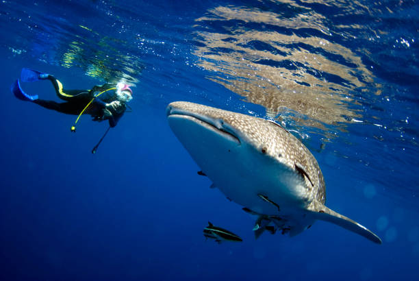 Surprised divers with whale sharks. Surprised divers with whale sharks. whale shark stock pictures, royalty-free photos & images