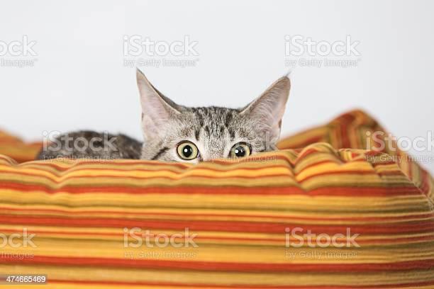 Surprised kitten hiding in orange bed picture id474665469?b=1&k=6&m=474665469&s=612x612&h=qt3uehaiz6wkueox stz0mfnswzllry xce7ehyu wy=