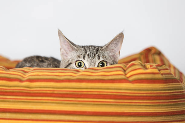 Surprised Kitten Hiding in Orange Bed Surprised Kitten Hiding in Striped Orange Bed scared cat stock pictures, royalty-free photos & images