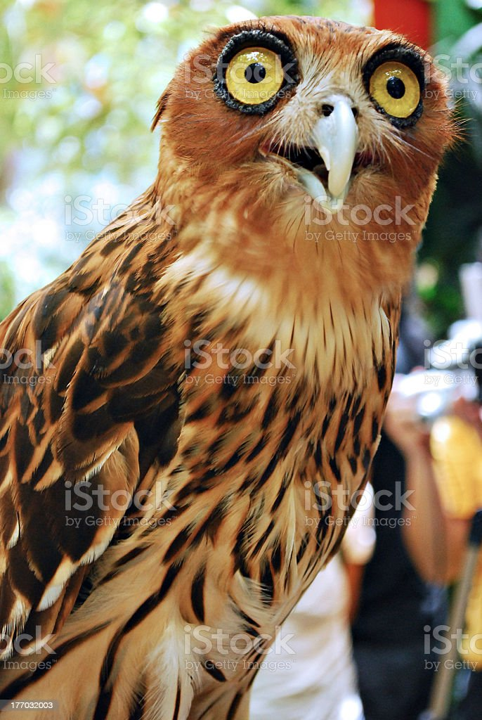 Surprised Owl royalty-free stock photo
