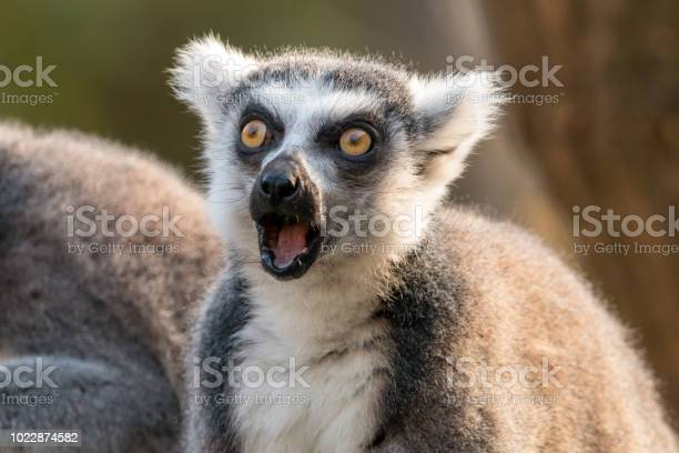 Surprised ringtailed lemur with open mouth and eyes wide open picture id1022874582?b=1&k=6&m=1022874582&s=612x612&h=hgomtb c54sgldmen a5j1t3tfru ccg0zcwjeqgo c=