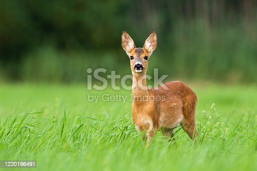 istock Surprised roe deer fawn looking into camera from front view with copy space. 1220196491