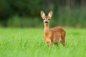 Surprised roe deer, capreolus capreolus, fawn looking into camera from front view on meadow with copy space. Alert wild animal with orange and brown fur in green summer nature.