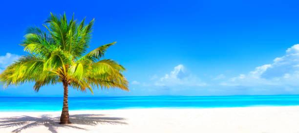 surrealistisch en prachtig droom strand met een palmboom aan wit zand en turquoise oceaan - aruba stockfoto's en -beelden