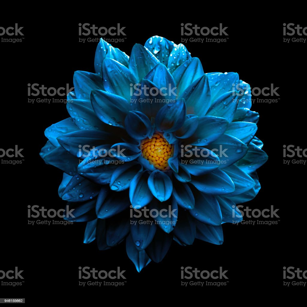 Surreal dark chrome blue flower dahlia macro isolated on black stock photo