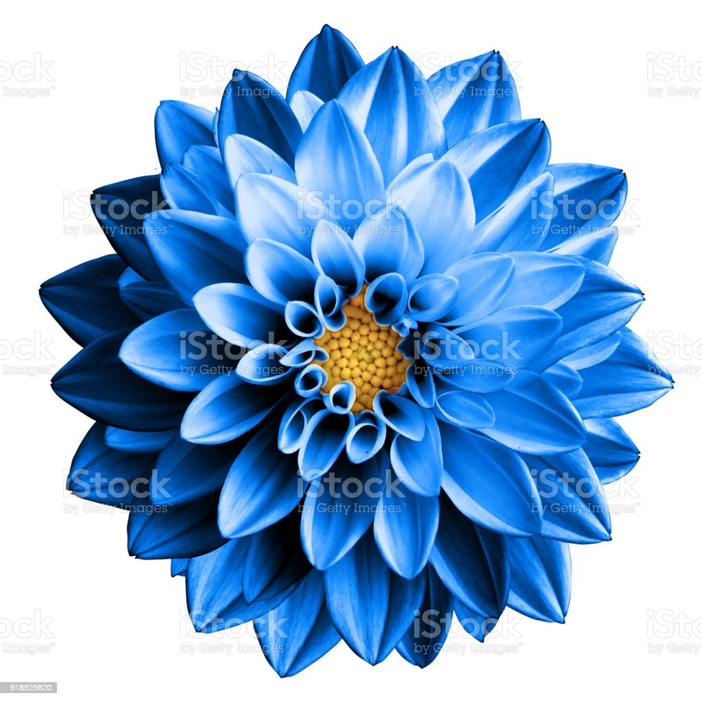 Surreal dark chrome blue flower dahlia macro isolated on white stock photo