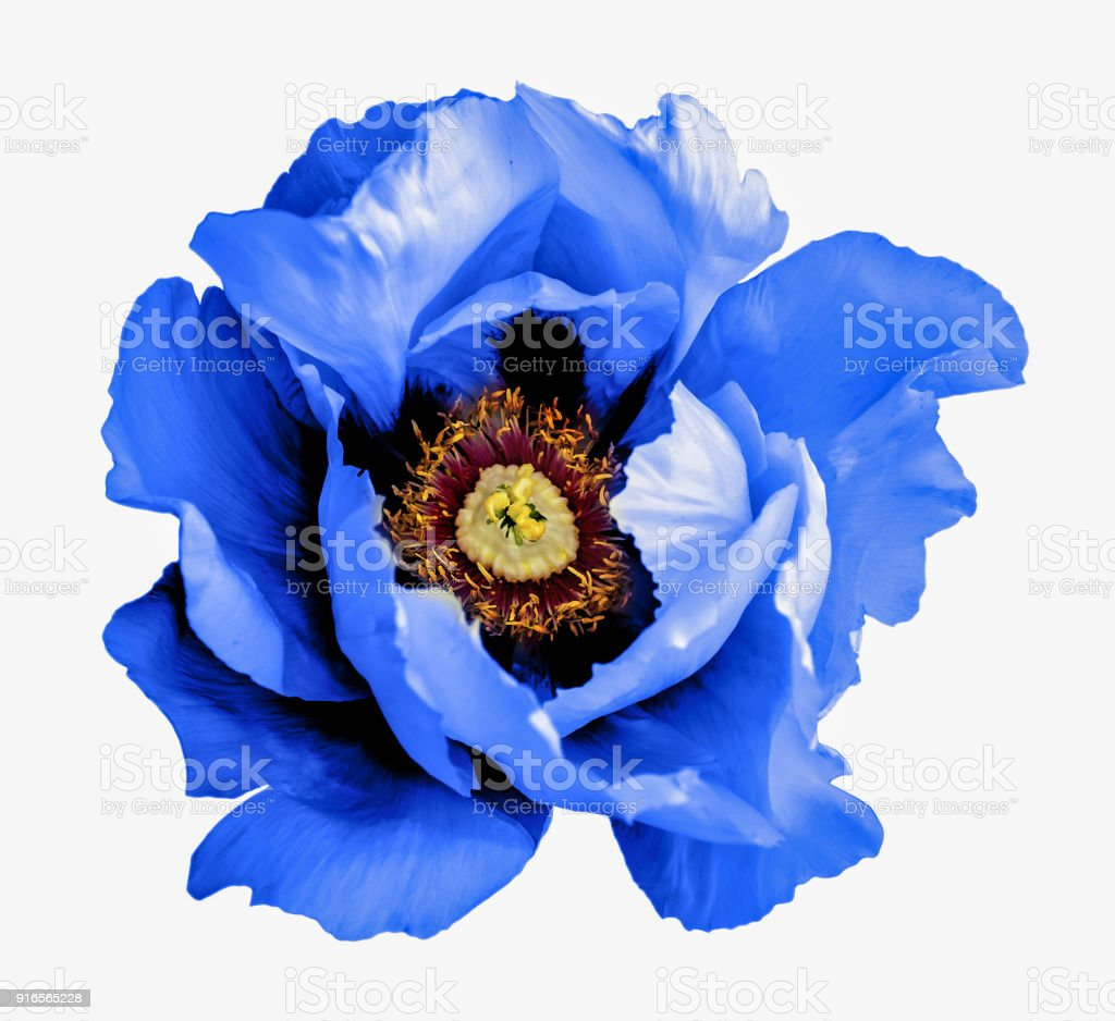 Surreal dark chrome blue poppy flower macro isolated on white stock surreal dark chrome blue poppy flower macro isolated on white royalty free stock photo mightylinksfo