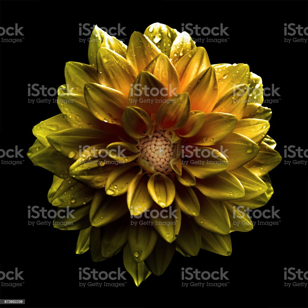 Surreal dark chrome gold flower dahlia macro isolated on black stock photo