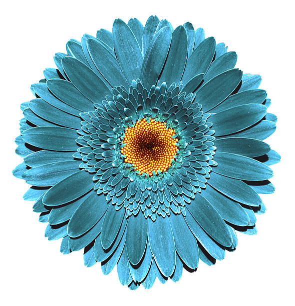 Royalty free beautiful daisy gerbera flowers pictures images and surreal dark chrome grey turquoise gerbera flower isolated on white stock photo mightylinksfo