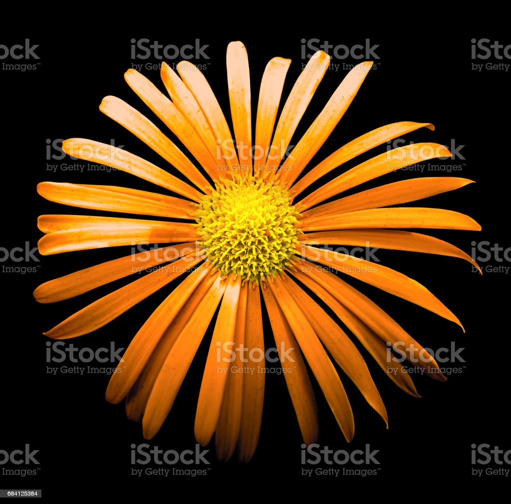 Surreal dark chrome orange chrysanthemum flower macro isolated on black royalty free stockfoto