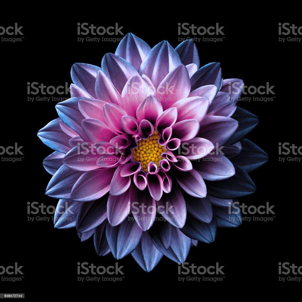 Photo Libre De Droit De Surrealiste Chrome Fonce Macro De Fleur Rose Et Violet Dahlia Isolee Sur Fond Noir Banque D Images Et Plus D Images Libres