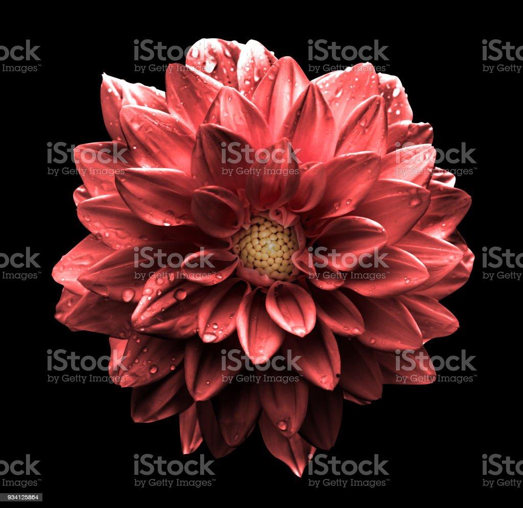 Surreal Dark Chrome Red Flower Dahlia Macro Isolated On Black Stock