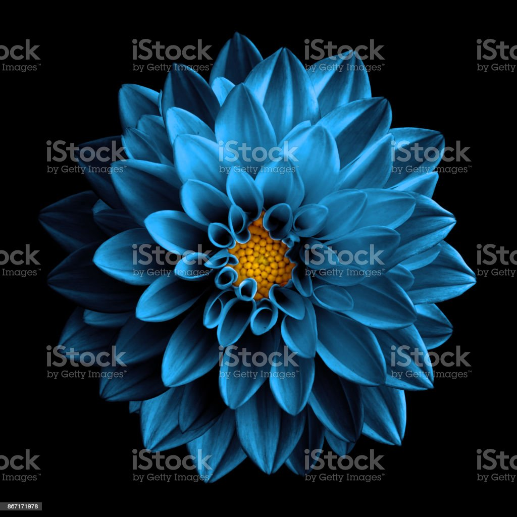 Surreal dark chrome sea blue flower dahlia macro isolated on black stock photo