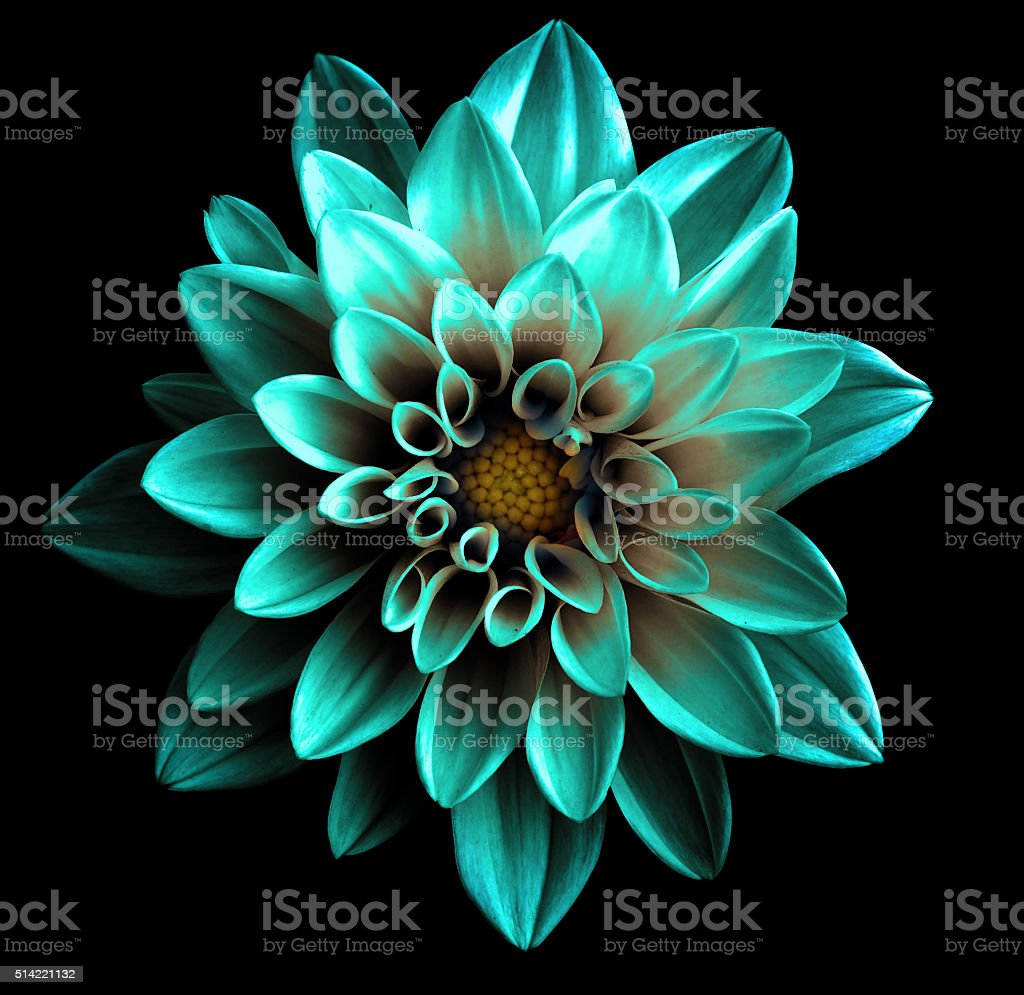Surreal dark chrome turquoise flower dahlia macro isolated stock photo