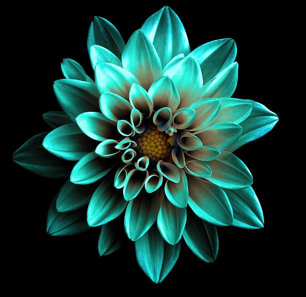 surréaliste chrome turquoise sombre isolé macro fleur dahlia - art moderne photos et images de collection