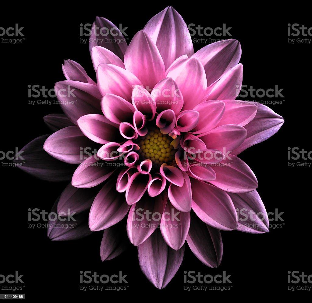 Surreal dark chrome violet flower dahlia macro isolated on black stock photo