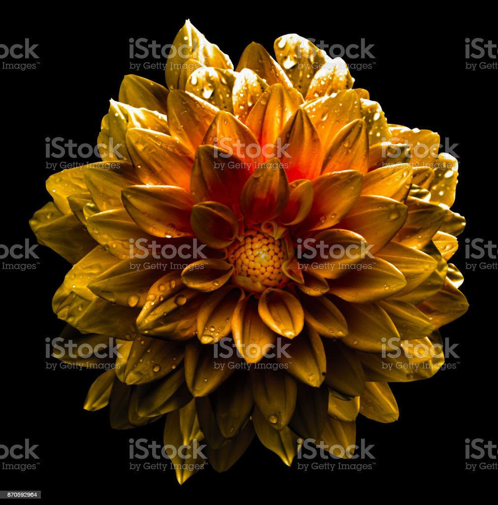 Surreal dark chrome yellow  dahlia macro isolated on white stock photo