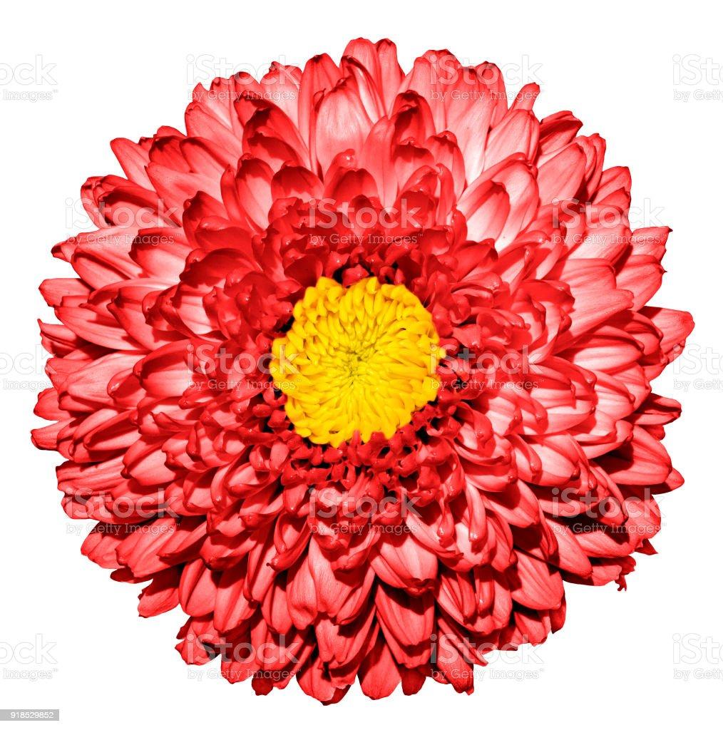 Surreal dark red chrysanthemum flower with yellow heart macro surreal dark red chrysanthemum golden daisy flower with yellow heart macro isolated on izmirmasajfo