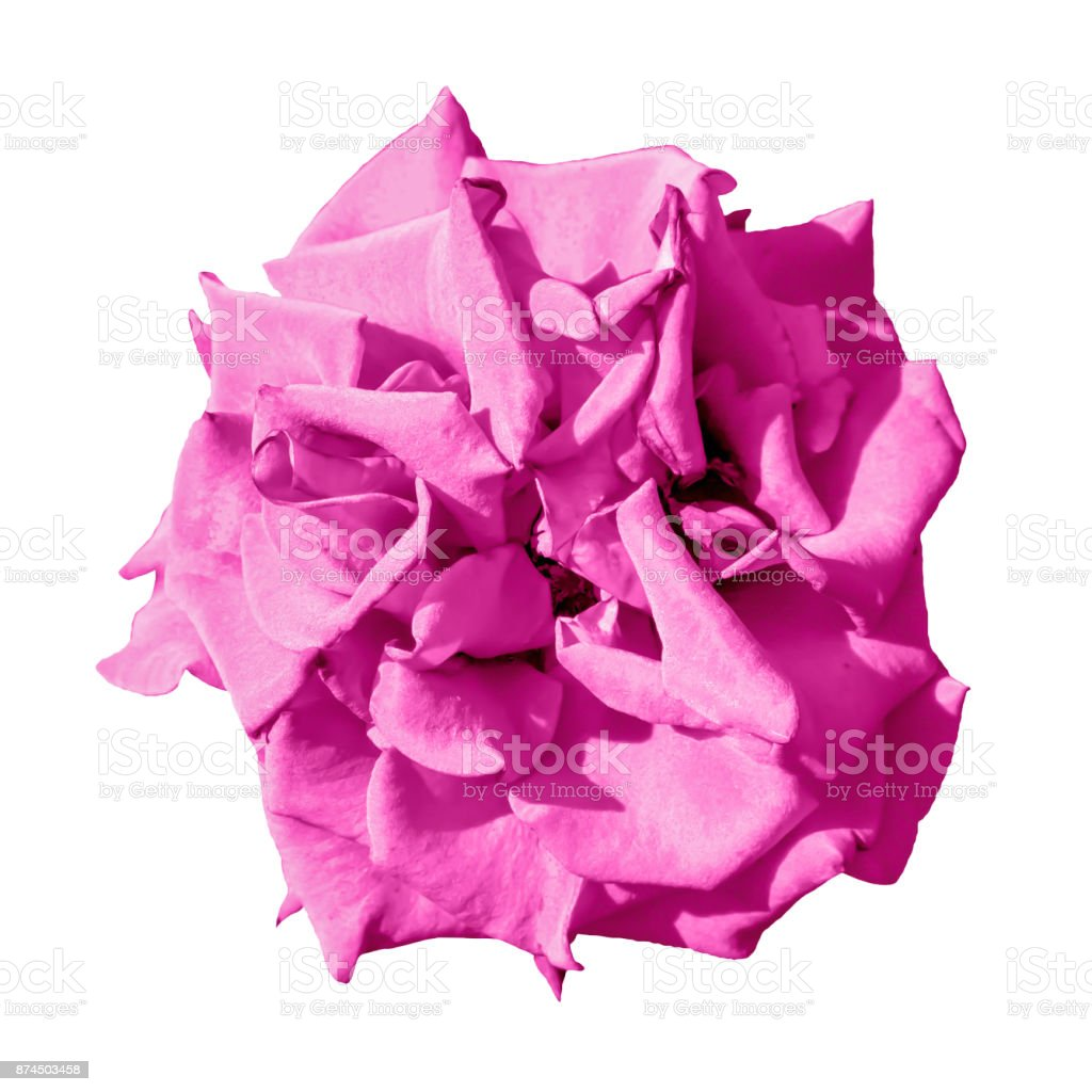Surreal Exotic Pink Marigold Flower Macro Isolated On White Stock