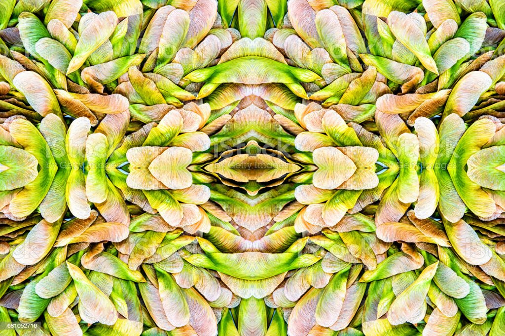 Surreal kaleidoscope composite view of samara maple tree dried fruit close-up seed in spring season stock photo