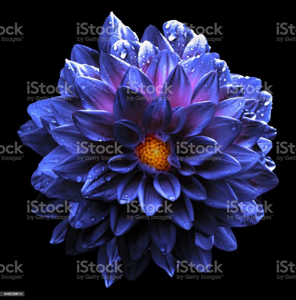 Surreal wet chrome violet  flower dahlia macro isolated on black stock photo