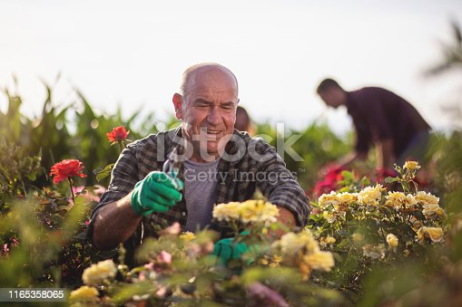 Senior man working in his flower farm with his workers