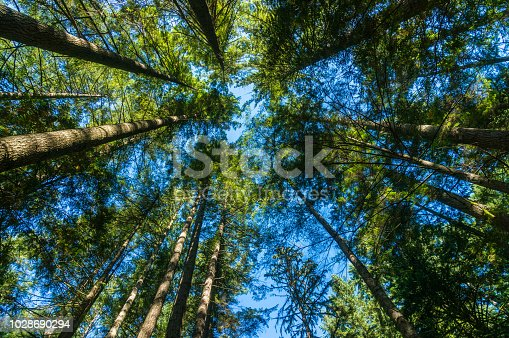 Surrounded beneath the forest, season, pine tree, wide-angle
