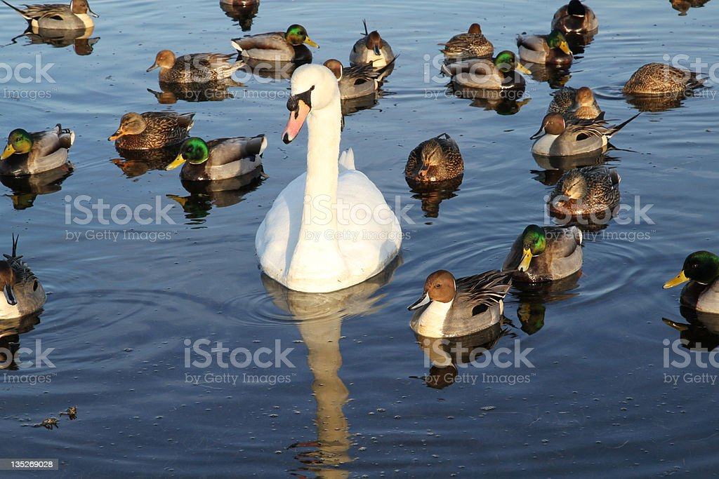 Surrounded by Admirers royalty-free stock photo
