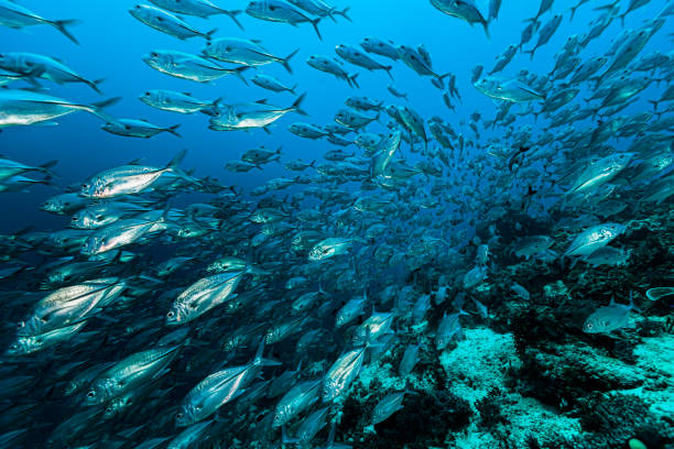 Surrounded by Fast-Moving Bigeye Trevally Caranx sexfasciatus, Raja Ampat, Indonesia stock photo