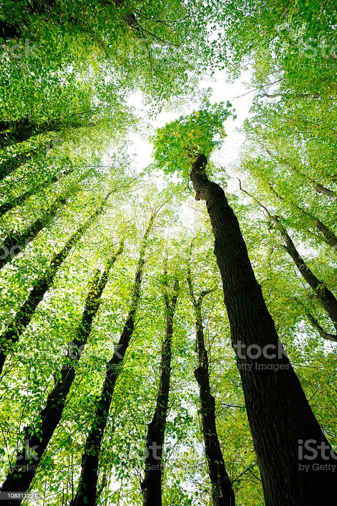 Surrounded by Oak and Lime Trees, low angle shot royalty-free stock photo