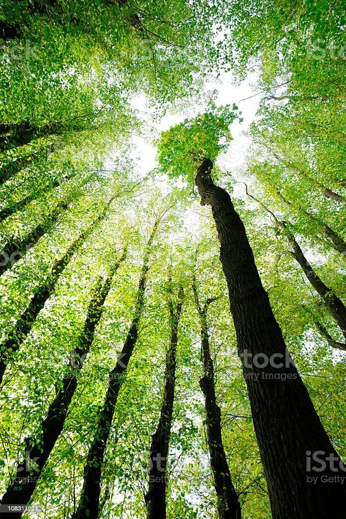 Umgeben von Oak und Limette Bäumen, niedrigen Winkel Aufnahme – Foto